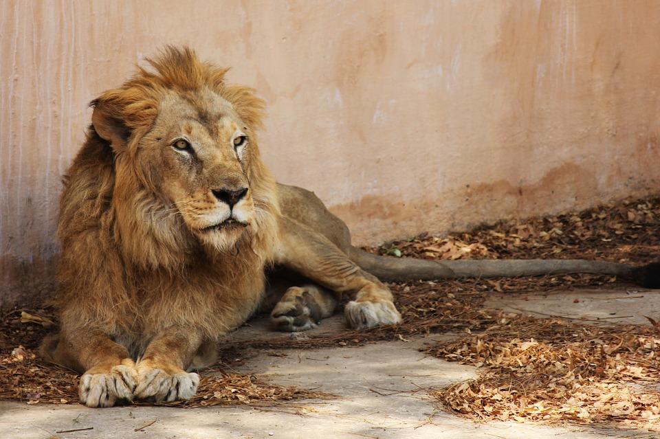 Vrací se lákadlo do ostravské zoo. Lev indický je znovu na místě